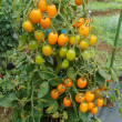夏野菜収穫と雑草取り