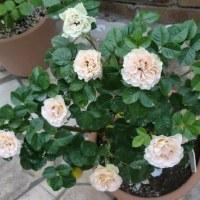 鉢植えミニバラ
