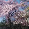 見事な枝垂れ櫻