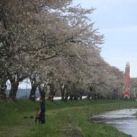 中山河川公園のサクラ