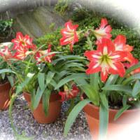 楽しい園芸 アマリリス