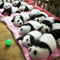 ゴ-ルデンウイ-クは海外へパンダ見に~