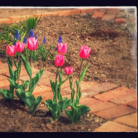 庭に咲いたチューリップ