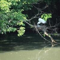 白鷺のコロニー