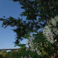5月20日 ニセアカシアの花