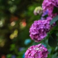 清水寺の紫陽花