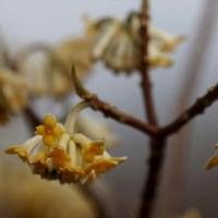 カメラ片手に ミツマタの花