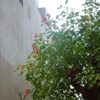 カイコーズの花