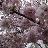 まだ桜っ!