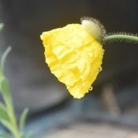 「フリーダム」を蒔種、「イエロートマト」苗の移植