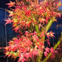 「枯葉でも 燃える紅葉が 奮い立つ」枯葉川柳