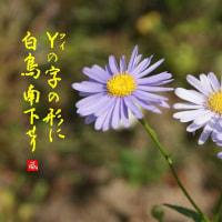 白 鳥(白鳥の飛ぶ早さもて老いゆくか)写真18枚・俳句15句