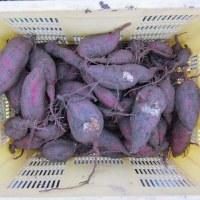 サツマイモの収穫(2回目)とダイコンの発芽状況