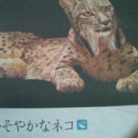 スペインオオ山猫