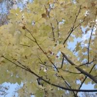 樹木ウォッチング冬から夏へ148コシアブラ3