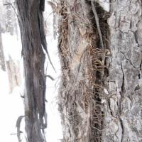 冬芽の観察120ツルアジサイ1