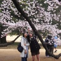 花見 新宿御苑の桜 apr2017