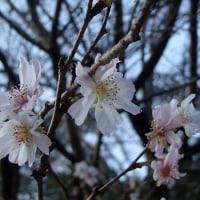 さくら便り2016:二季咲き性のサクラ(八重咲き)・・・