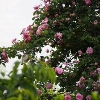 庭の薔薇(6)