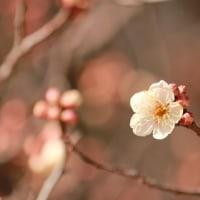 657.桜の開花