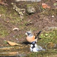 アトリと、シジュウカラの水浴び。
