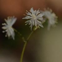セリバオウレンの花(Ⅱ)