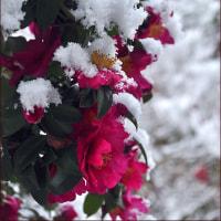さざんかに雪