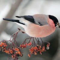 今日の鳥 アカウソとウソ  1月22日撮影