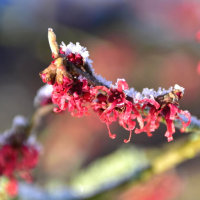 雪に咲く、赤いマンサクの花