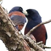 これから巣作りのお二人さん  ルリカケス