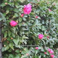 山茶花は冷えてこそ美しい