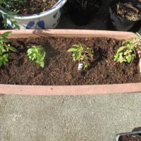 花定植と移植