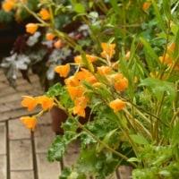 姫竹葉セッコクの黄色い花