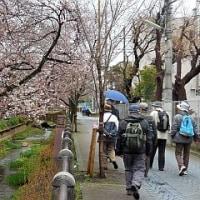 4月 1日(土) ハイキング 呑川緑道でお花見