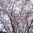 二代目桜が満開