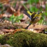 野鳥観察 カワラヒワ