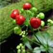 マタタビの実とツチアケッビの花。金剛山(大阪府)7月