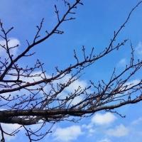 三寒四温。春は一歩づつ。主計町の桜。