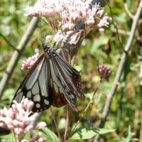 海わたる蝶 ~ モネの庭から(その274)