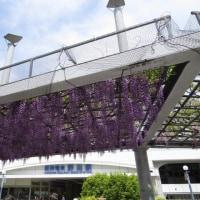 野田の藤を見に行く。