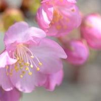 a blossum