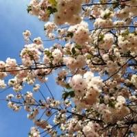お花見さんぽ ~クマと桜を見る会