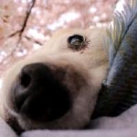 愛犬まると桜の季節