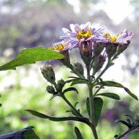 思いがけないシロバナサクラタデの雌花に興奮しました