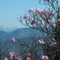 袈裟丸山にアカヤシオ咲く