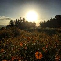 道端の黄花コスモスからの朝陽