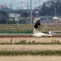ソデグロヅル 飛翔