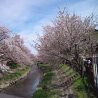2017の桜です。