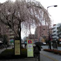 町田に滝桜が咲いた!