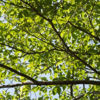 葉の緑がさらに深まってきました (2017/06/17)